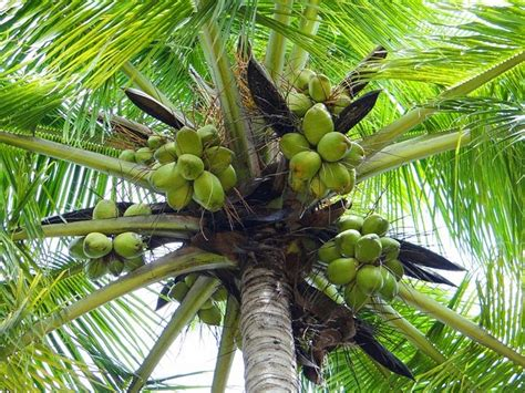 Minyak Kelapa Per Gram manfaat buah kelapa