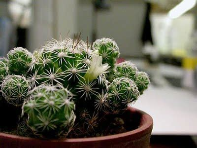 wallpaper bunga kaktus cara mudah merawat tanaman kaktus hiasanrumah