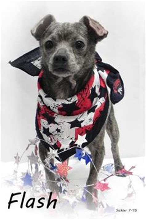 pug rescue tulsa 1000 images about aaa small adoption on chihuahua mix shelters and