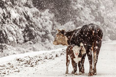 the biggest blizzard feedyards say cattle weight loss caused by blizzard is the