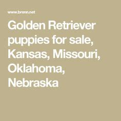 golden retrievers for sale in oklahoma litter of 7 goldendoodle puppies for sale in omaha ne adn 30811 on puppyfinder