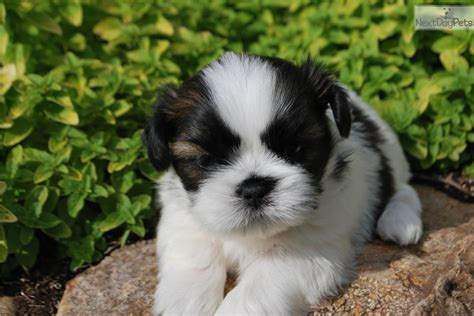 shih tzu puppies springfield mo akc shih tzu puppies for sale 8 weeks breeds picture