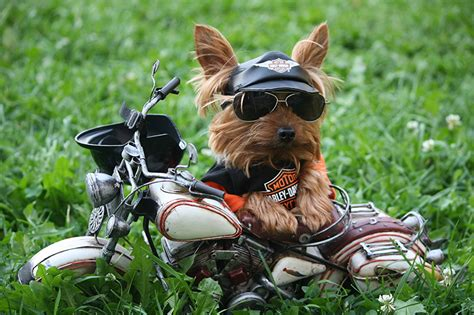 Motorradfahren Mit Brille by Bilder Terrier Hunde Motorrad Motorradfahrer