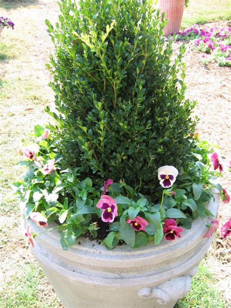 1000 images about evergreens containers on pinterest