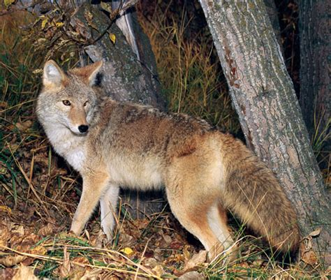 facts about coyotes for kids coyote kids encyclopedia children s homework help