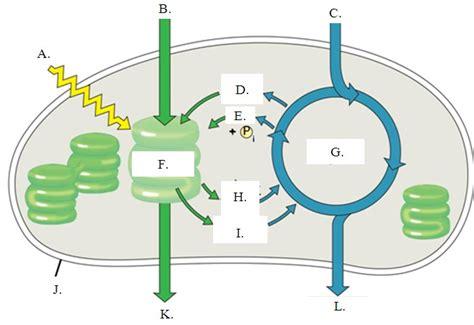 Blank Diagram Of Photosynthesis photosynthesis