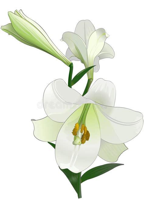 giglio bianco fiore giglio bianco fotografia stock immagine 3640540