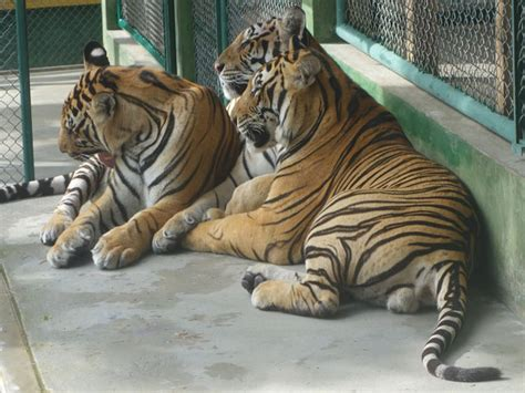 Tiger Is A Scaredy Cat through golden phuket s tiger kingdom opens with one
