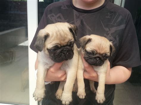 pictures of teacup pugs teacup pugs adoption breeds picture