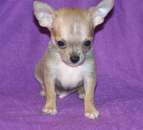 chihuahua puppies price chihuahua puppies for free price tag chihuahua fabulous sealed mask coat puppies for