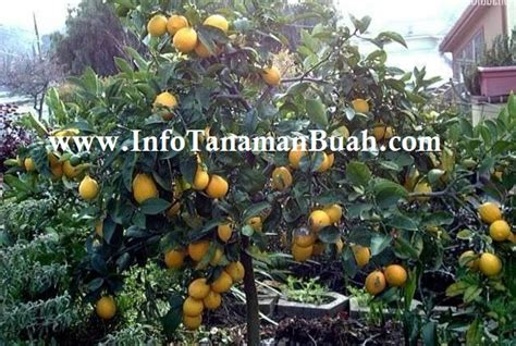Bibit Buah Lemon jual bibit lemon australia besar kuning bersih dan