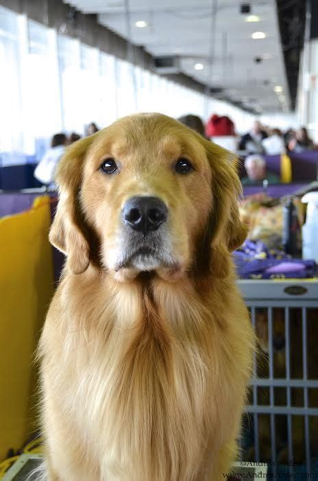 golden retriever club 17 best images about westminster kennel club show 2015