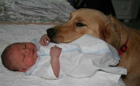 what do golden retrievers like to do baby finn cooper s golden retriever kisses bless you