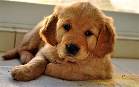 Puppy Golden Retriever golden retriever petimals