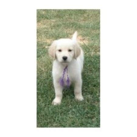 golden retriever puppies peoria il charisgoldens golden retriever breeder in peoria illinois listing id 8943