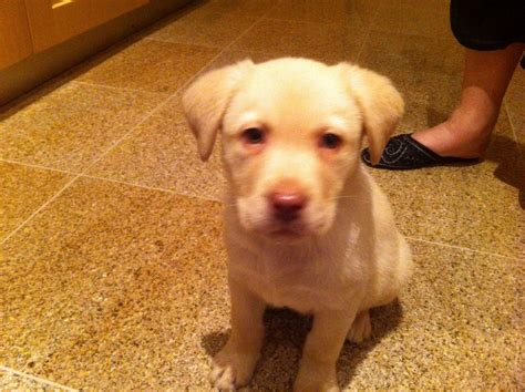 10 week lab puppy labrador x 10 week puppy aldershot hshire pets4homes