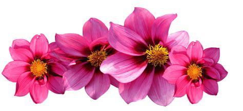 Wallpaper Dinding Bunga Cosmo 814 1 bloemen gratis afbeeldingen op pixabay