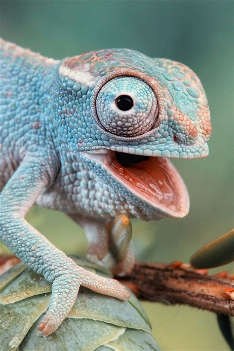 Chameleon Headl chameleon up iphone wallpaper 640x960 iphone 4 4s wallpaper free