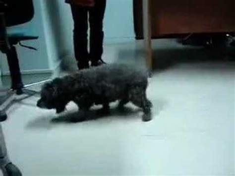 ataxia in dogs canine cerebellar ataxia 3 doovi