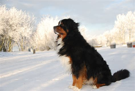 bernese mountain puppies cost 10 of the most expensive breeds to own