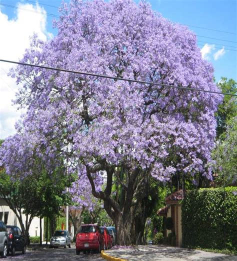 imagenes de flores jacaranda jacaranda plantas costa peru pinterest arbustos