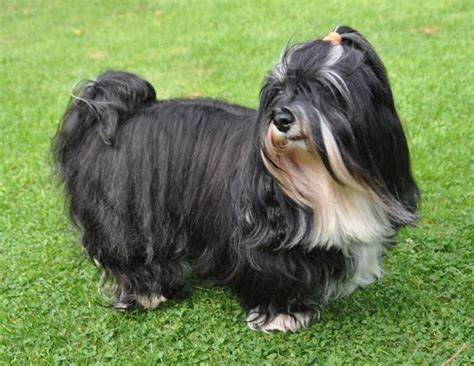 black havanese colors colours in havanese havaneser farben info chocolate brown colour color