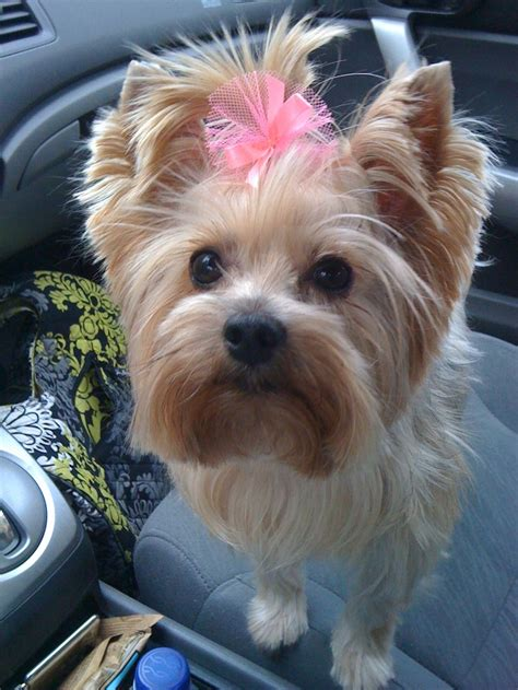 my yorkie smells 171 best images about yorkie on terrier teacup yorkies
