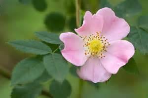 a to z the usa iowa state flower