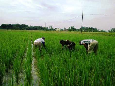 Obat Pengendalian Gulma Pada Tanaman Padi gulma padi www picswe