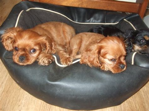 st charles puppy king charles puppies for sale st helens merseyside pets4homes