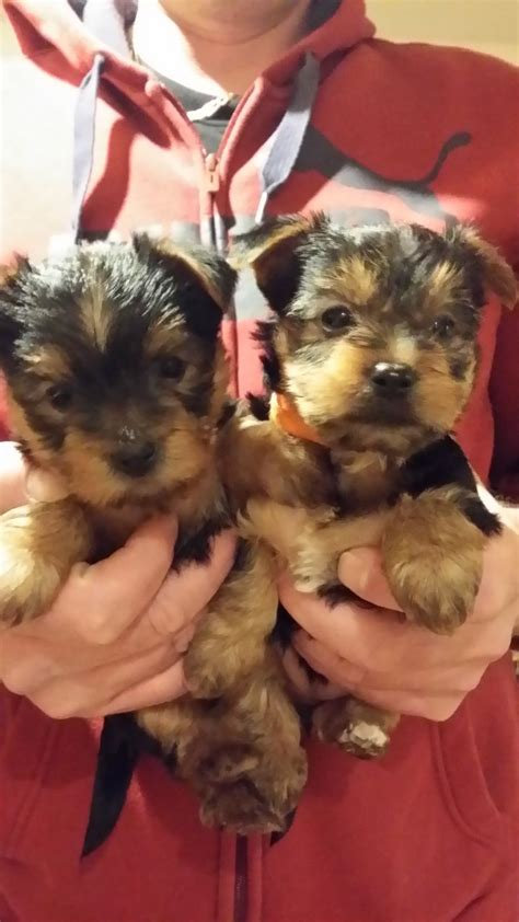 yorkie dogs for sale terriers for sale mansfield nottinghamshire pets4homes