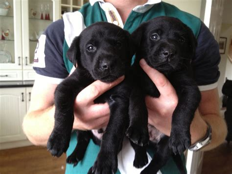 5 week lab puppies excellent quality labrador puppies now 5 weeks bishop auckland county durham