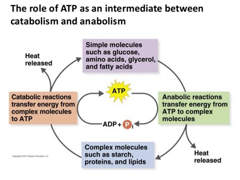 Catabolic Phase Detox by Differentiate Anabolic Versus Catabolic Reactions