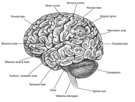 diagram of a brain brain image brain function map