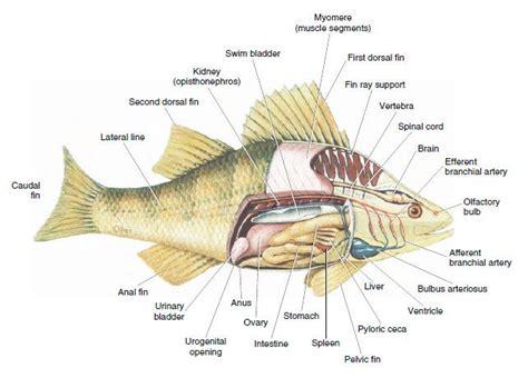 diagram of a bony fish fish anatomy labeled nhssc 005f77e6c8fa