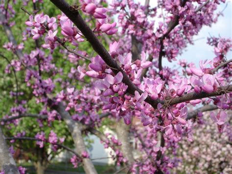 japanese redbud tree photos eastern redbud boyd nursery company