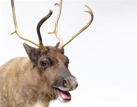 rudolph ears donner donder or dunder santa s reindeer names explained