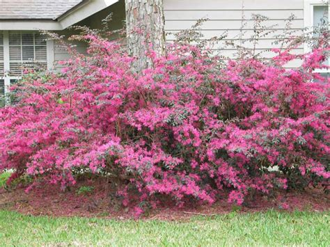 shrub with pink flowers loropetalum or fringe flower my favorite