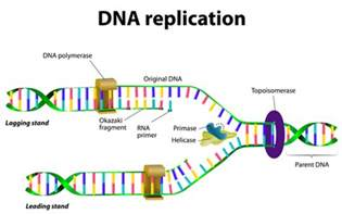 Dna Replica Dna Replication Study Guide Alyvea