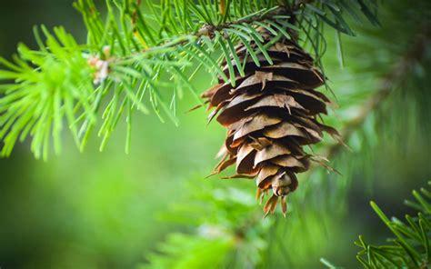 pine cone wallpaper wallpapersafari