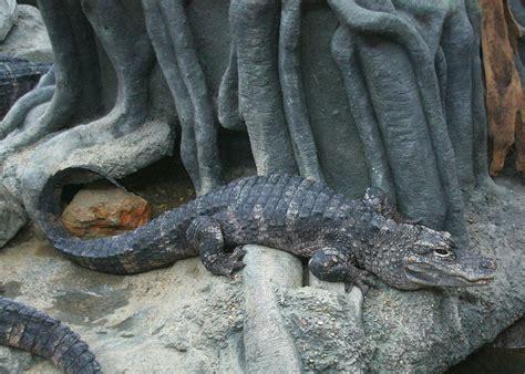 Alligatorinae - Wiktionary