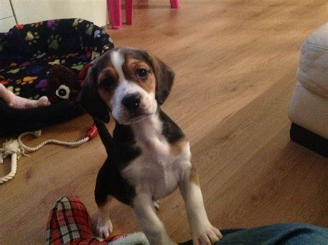 beagle puppies for sale in louisiana beagle dogs for sale in southeast louisiana louisiana breeds picture