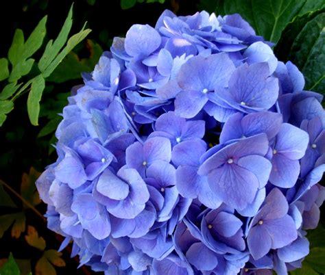nomi di fiori con la a ortensia fiore d autunno tra mitologia e contemporaneit 224