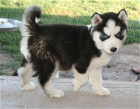 husky pomeranian puppies for sale pomeranian husky miniature breeds picture