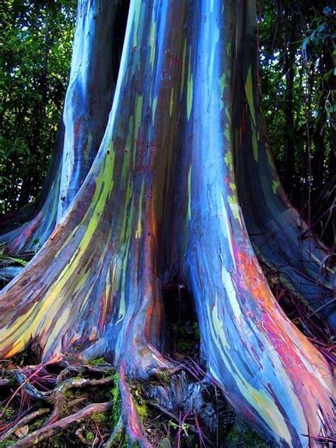rainbow eucalyptus 100 seeds of rainbow eucalyptus tree deglupta mindanao gum