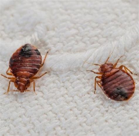 bed bugs travel on clothing bed bugs can travel on people suitcases and clothing