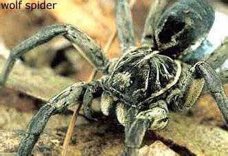 wolf spider badspiderbitescom
