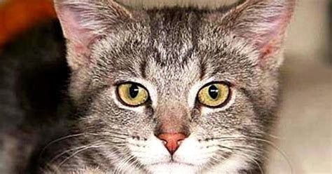 how to tell what breed your is how to determine your cat s breed tabby cats cat and animal