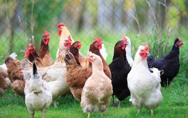 Backyard Chickens Diet Gianpiero Ai Lombrichi Gli Scarti Di Galline E Piccioni