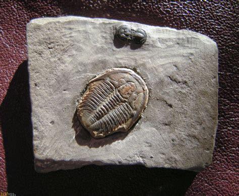 Reserved Ka Siti Fossil 1 fosilien kaufen bildanalyse biorhythmuskalender